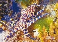 澎湖海域现剧毒蓝环章鱼 比眼镜蛇毒性
