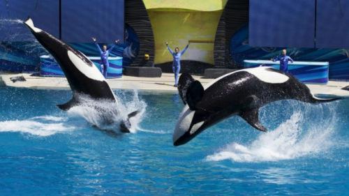 美国一海洋公园杀人鲸宣告死亡 系6个月